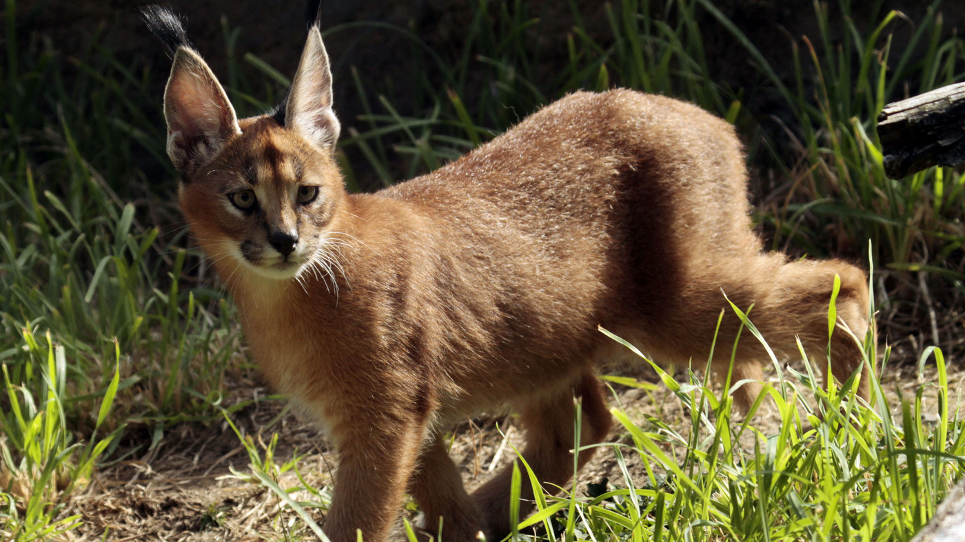 Large African cat escapes its owner and prowls a Detroit suburb : NPR
